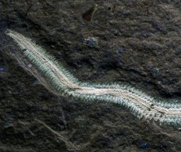 Ancient fireworm species named for punk rocker Henry Rollins