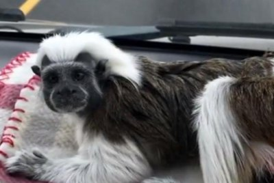 Couple searching for lost monkey in North Carolina