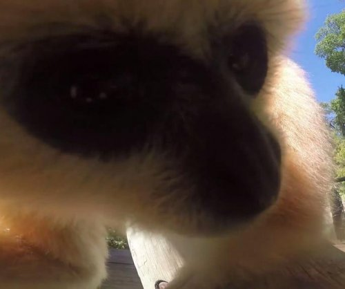 Fort Worth Zoo gibbons play with GoPro camera