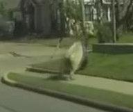 Runaway cow jumps over pedestrian in Texas
