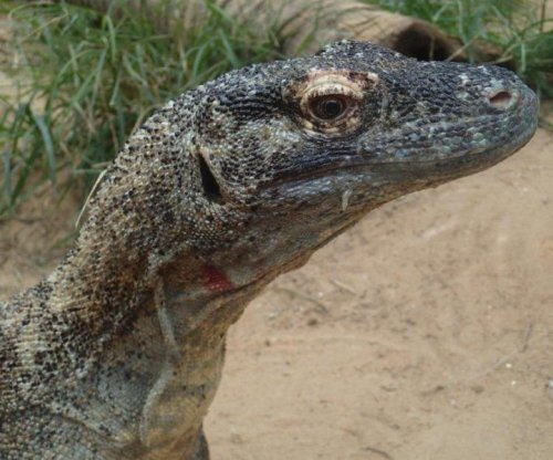 Komodo dragon blood boasts antimicrobial properties