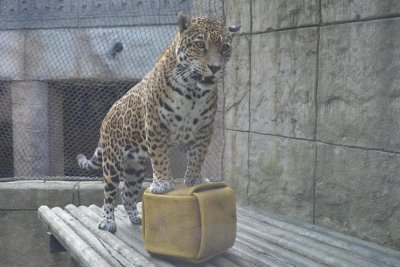 Ohio zoo's drill sparks jaguar escape rumors
