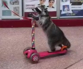 Scooter-riding raccoon caught on camera at British shopping center