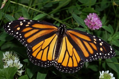 Future of Monarch butterflies a concern