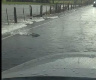 Salmon swim across Washington state road in heavy rain