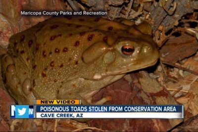Thieves take hallucinogenic toads from conservation area