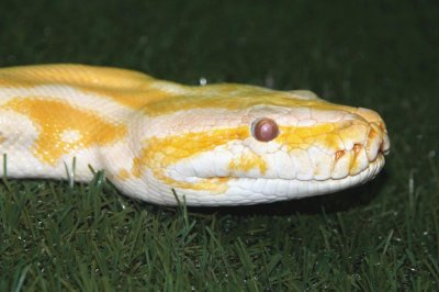 Police search for exotic python on the loose in Canada