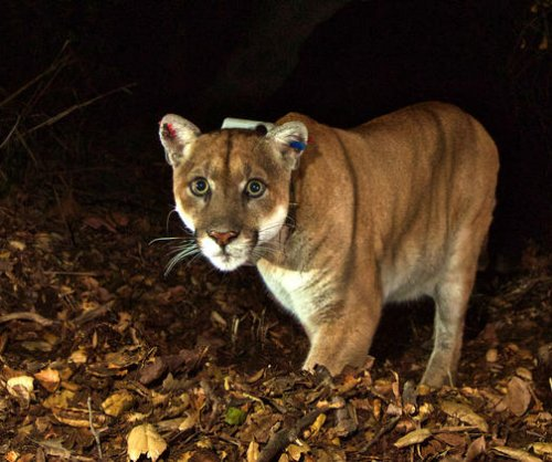 Canadian man punches cougar in the face to save his dog