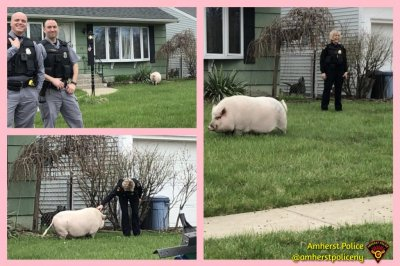 Pig on the loose causes chaos in New York state