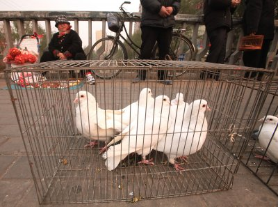 10,000 pigeons get 'anal security check' in China