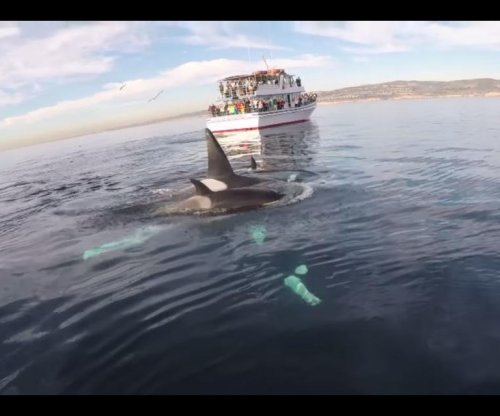 Paddleboarder films close encounter with orcas pod