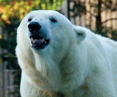 Klondike, the oldest polar bear in the U.S., dead at 34