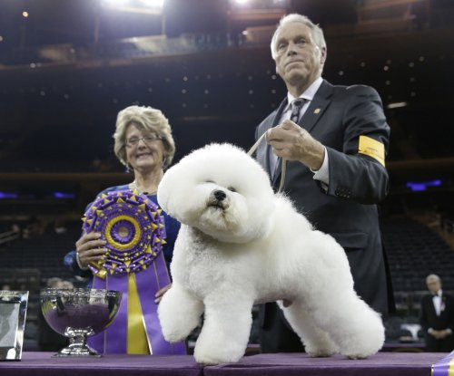 Flynn the Bichon Frisé wins Best in Show at Westminster