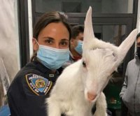 Loose goat found wandering next to highway in New York
