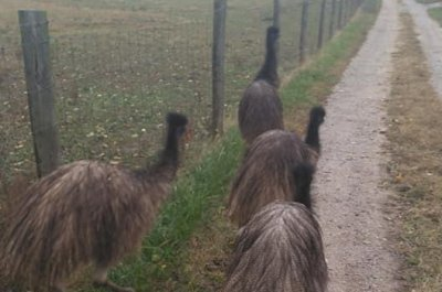 Kentucky zoo employees round up escaped emus from Amish farm
