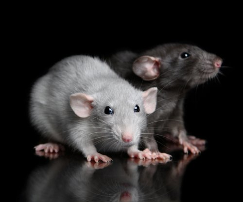 Study: Huddling rats behave like 'super-organism'