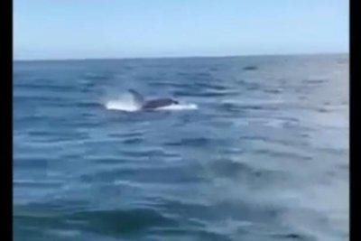 Killer whale attacks boat, steals anchor in Alaska