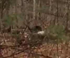 Michigan hunter films helplessly as black bear steals his deer