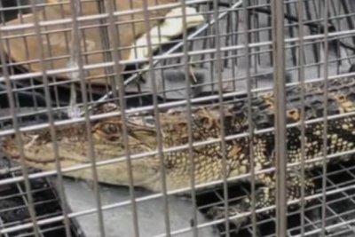 Public works employee captures alligator in Michigan pond