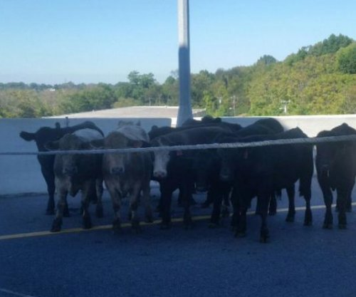 Police round up runaway cattle after semi overturns