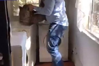 Veterinarian removes loose leopard from home's laundry room
