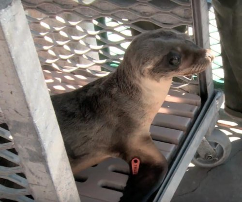 Sea lion pup found in restaurant recovering at Sea World