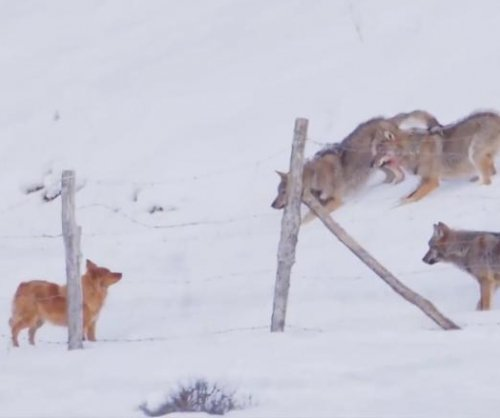 Clever dog narrowly escapes from hunting wolf pack