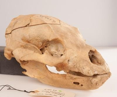 Winnie-the-Pooh's skull on display at London museum