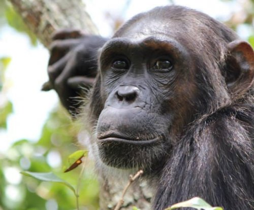 Chimpanzees seek out genetically different mates
