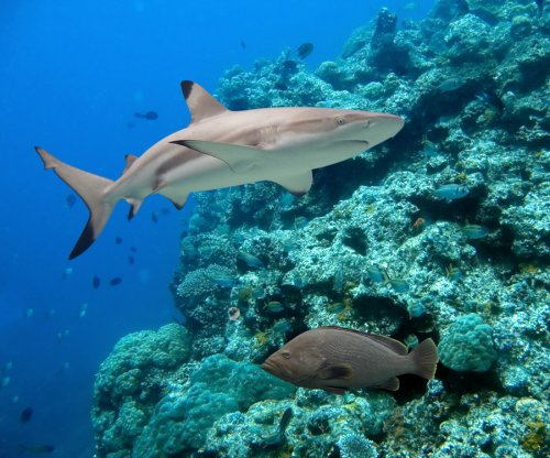 Fewer sharks equals fatter fish, research shows