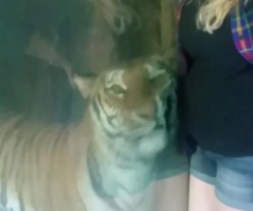 Tiger snuggles up to pregnant woman's belly at Indiana zoo