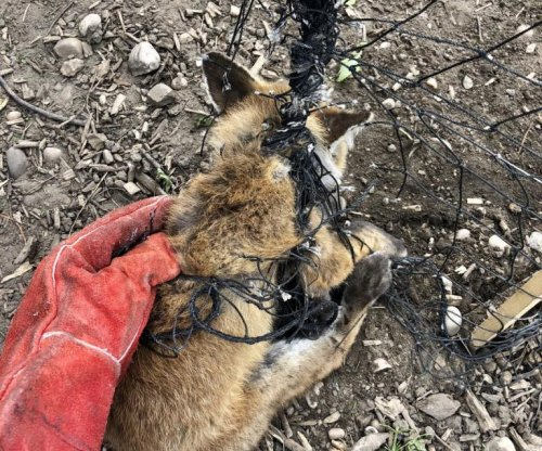 Animal rescuers free fox stuck in netting