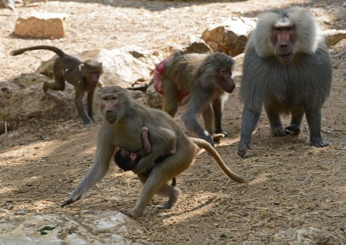 Female baboons with male friends live longer