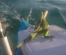 Boater rescues iguana swimming 4 miles out into the ocean