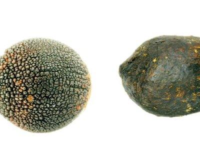 Plant seed mimics poo, tricks dung beetle