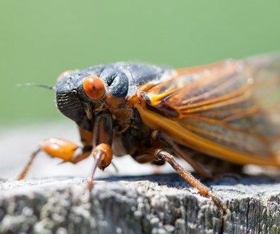 FDA: Don't eat cicadas if you have seafood allergies