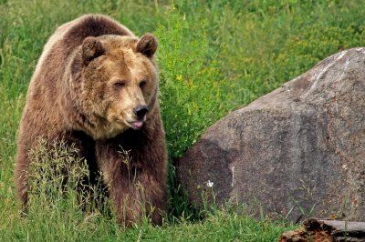 'Garbaging for bears' on federal land endangers grizzlies, wolves