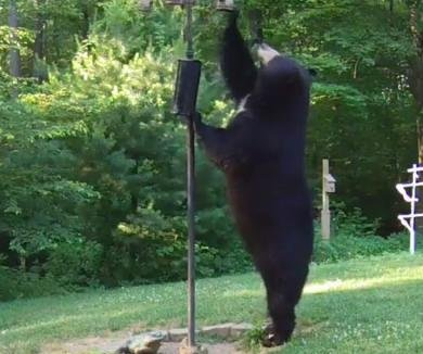 Large black bear is the first to reach bear-proofed bird feeder