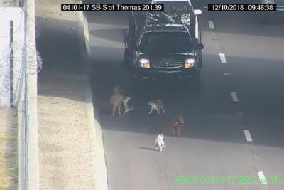 Playing dogs stop traffic on Phoenix highway
