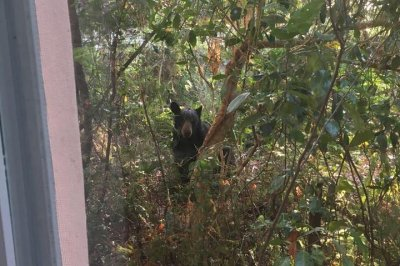 Bear lured down from tree in Florida neighborhood