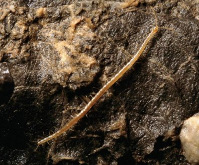 Scientists find deepest-ever-dwelling centipede species