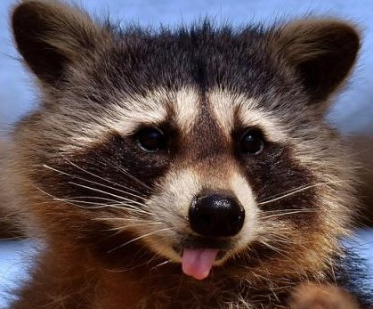 Indiana fire house visitor seeks help for stoned raccoon