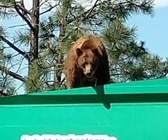 Bear filmed taking a ride on New Mexico garbage truck
