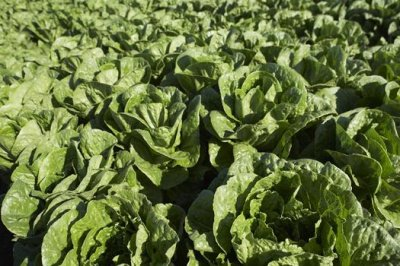 Romaine farmers growing desperate to find source of E. coli contamination