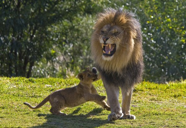 Lion Cubs Meet Their Dad For The First Time Video Upi Com
