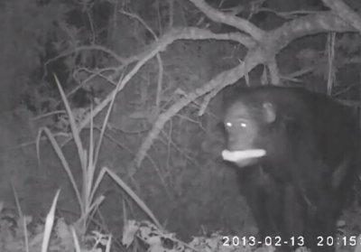 Chimps caught on film raiding corn farm, having sex