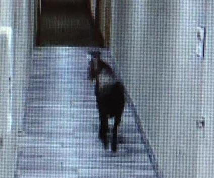 Runaway goat wanders into Massachusetts hotel