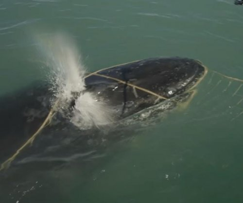 Humpback whale freed from illegal net in Mexico