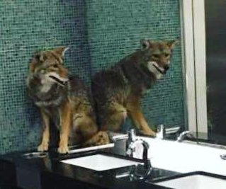 Nashville police remove coyote from bathroom
