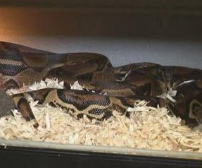 Ohio woman finds 7-foot boa constrictor on front lawn